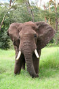 Elephant in Tanzania Royalty Free Stock Photos