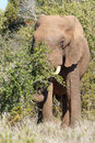 Elephant trunk reaching down for a branch Royalty Free Stock Photo