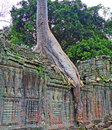 Elephant trunk tree in angkor thom ancient with an like shape wat cambodia Royalty Free Stock Image