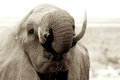 Elephant tusk thick skin and strong Royalty Free Stock Photo