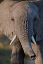 Elephant tusk thick skin and strong Royalty Free Stock Images