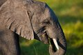 Elephant tusk thick skin and strong Stock Photography