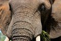 Elephant tusk thick skin and strong Stock Images