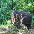 Elephant with tusks in the forest asian Royalty Free Stock Photography