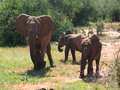 Elephant with two juveniles from herd Royalty Free Stock Photos