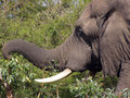Elephant using trunk to pick leaves off branch Royalty Free Stock Image