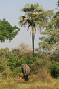 Elephant walking away a large african into the bush Royalty Free Stock Image
