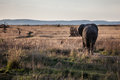 Elephant walking away Royalty Free Stock Photo