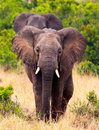 Elephant walking a head on shot of an african towards us in masai mara kenya Royalty Free Stock Image