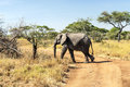 Elephant walking in meadows of tanzania with acacias on a sunny day Royalty Free Stock Photography