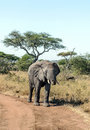 Elephant walking in meadows of tanzania with acacias on a sunny day it s a vertical picture Royalty Free Stock Photos