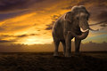 Elephant walking outdoor on sunset Royalty Free Stock Photography
