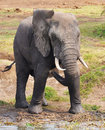 Elephant with wet feet Stock Photography