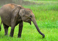 Elephant in the wild Royalty Free Stock Images
