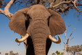 Elephant wild african in the wilderness Royalty Free Stock Photography