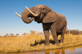 Elephant wild african in the wilderness Royalty Free Stock Photo