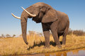 Elephant wild african in the wilderness Royalty Free Stock Photos
