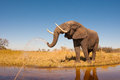 Elephant wild african in the wilderness Stock Photography