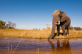 Elephant wild african in the wilderness Royalty Free Stock Images