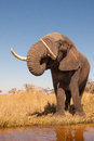 Elephant wild african in the wilderness Stock Photos