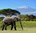 Elephant in the wild national park kenya Stock Photography