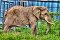 Elephant with wrinkles on the skin picture of an old a lot of deep in safari green grass and a blue background Stock Photos