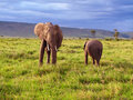 Elephant youngster african with mother in cloudy savanna Royalty Free Stock Photo