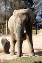 Elephant in zoo front view of an for fencing Royalty Free Stock Photos