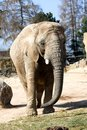 Elephant in zoo front view of an for fencing Royalty Free Stock Image