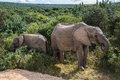Elephants in Addo Elephant National Park, South Africa Royalty Free Stock Photo