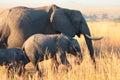 Elephants in amboseli at sunset national park kenya Royalty Free Stock Photo