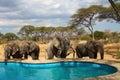 Elephants around swimming pool Royalty Free Stock Photo