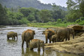 Elephants bathe group of bathing in the river Royalty Free Stock Image