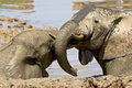 Elephants bathing two lying in a mud pool and playing with each other Royalty Free Stock Image