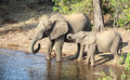 Elephants in botswana riparian scenery with seen africa Royalty Free Stock Photo