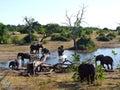 Elephants at Chobe National Park Royalty Free Stock Photo