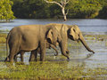 Elephants drinking Royalty Free Stock Photo