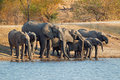 Elephants drinking water a herd of african loxodonta africana south africa Stock Photo