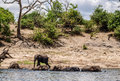 Elephants entering river chobe in line Royalty Free Stock Photo