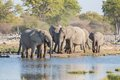 Elephants in etosha group of drink at a waterhole Stock Images