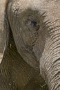 Elephants eye and trunk detailed view of an Stock Images