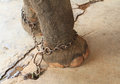 Elephants feet with shackles Royalty Free Stock Photo