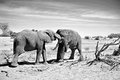 Elephants Fighting Royalty Free Stock Photo