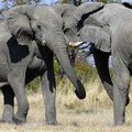 Elephants fighting - Savuti - Botswana Royalty Free Stock Photo