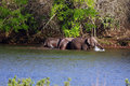 Elephants group of are happily bathing in a river Royalty Free Stock Images