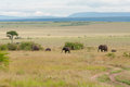 Elephants in maasai mara national park kenya Royalty Free Stock Image