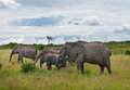 Elephants in maasai mara national park kenya Stock Images