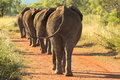 Elephants marching down the road Royalty Free Stock Photo