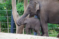 Elephants mother elephant feeding baby calf Royalty Free Stock Photography