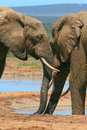 Elephants nuzzling two adult nuzzle and greet at a waterhole in addo elephant national park in south africa Stock Photos